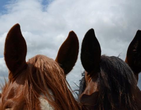 Pferdegesichter